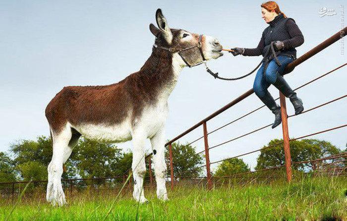 رکورد بلندترین خر را  رومولوس 9ساله   که قدی برابر با 172.72 سانتی متر قد داردو در ایالت متحده امریکا زندگی می کند از آن خود کرده است .