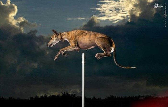 رکورد جهانی برای بالاترین پرش توسط یک سگ به ارتفاع  172.7 سانتی متر به دست آمده  وتوسط شخصی با نام
