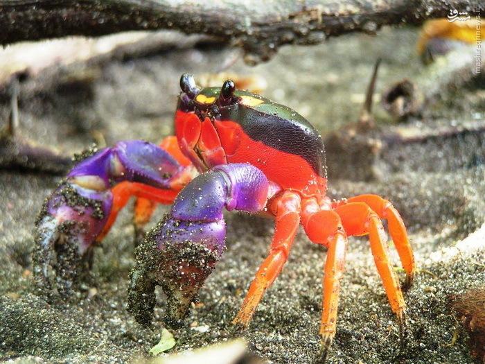 Pictures: animals exceptional٬ تصاویر: حیواناتی استثنایی٬ حلزون قرمز + عکس٬ حیوانات عجیب و غریب٬ خروس سیا