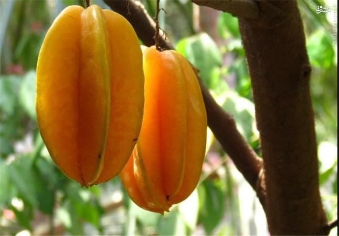 کارامبولا (میوه ستارهای): این میوه منبع بزرگی از ویتامینها است، بهطوری که ویتامین C، A، ویتامینهای گروه B، تیامین و اسید فولیک در آن وجود دارد. همچنین کلسیم، منیزیوم، پتاسیم، روی، آهن و فسفر نیز در آن قرار دارد. سطح بالای پتاسیم این میوه برای قلب مفید است و خاصیت آنتیاکسیدانی آن در برابر پیری موثر است.
