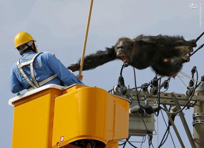 این میمون پس از فرار از مرکز جانورشناسی، بر روی سیم های برق رفته بود که به ضرب گلوله بی هوش کننده و با کمک آتش نشانها در ژاپن به سلامت پایین آمد.
