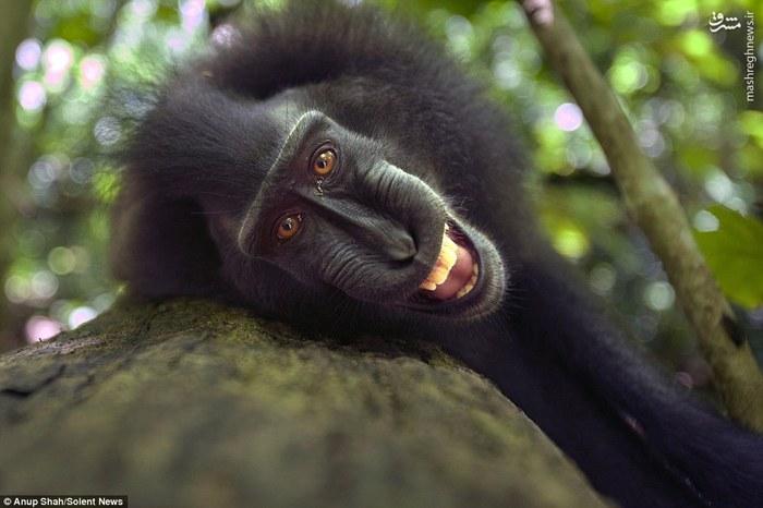 ذوق زدگی میمونها از دیدن دوربین,واکنش میمون ها به دیدن دوربین عکاسی