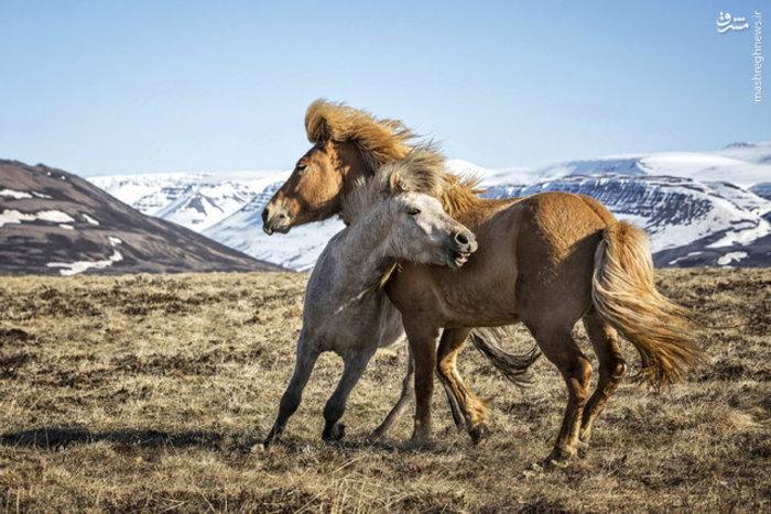 عکس اسب های ایسلندی