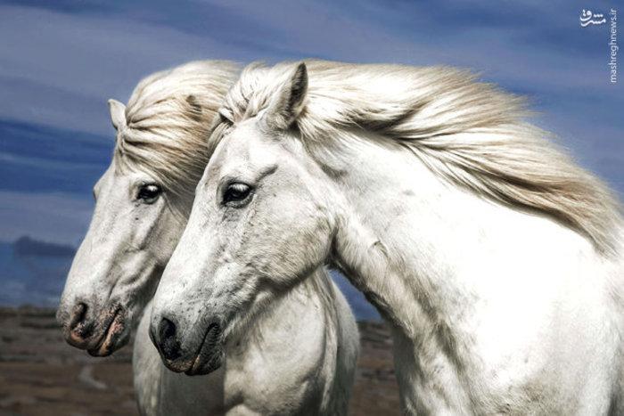 دو اسب سفید ایسلندی با یال های زیبا