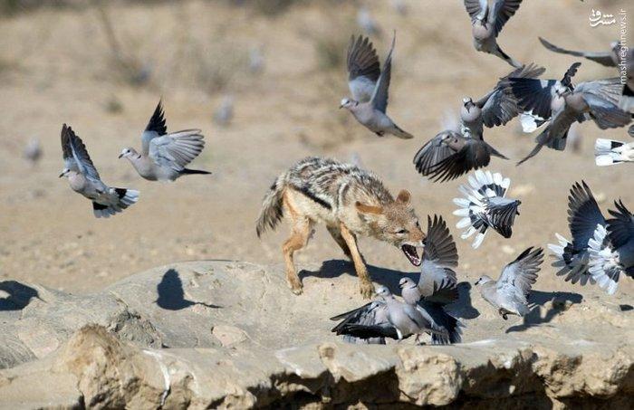 شکار شغال,حیات وحش,حمله شغال,راز بقا