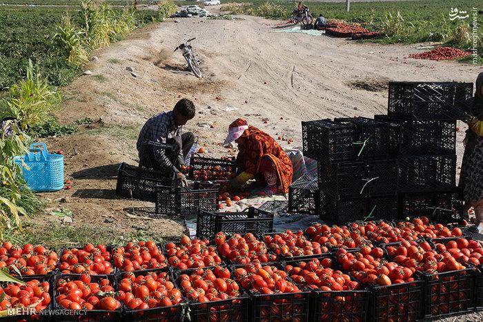 ایرنا سرمایه گوجه فرنگی کاران خراسان شمالی برباد رفت