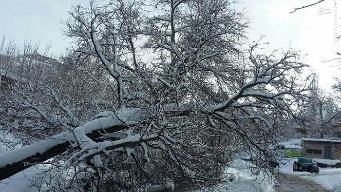 عکس/ شکستن درخت گردو از حجم برف
