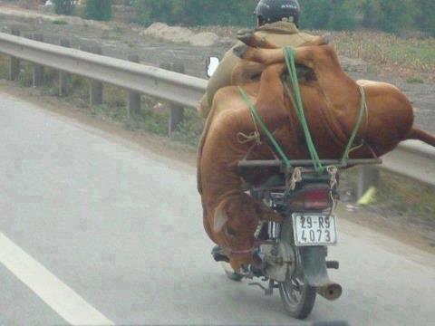 عکس / حمل گوساله با موتور !