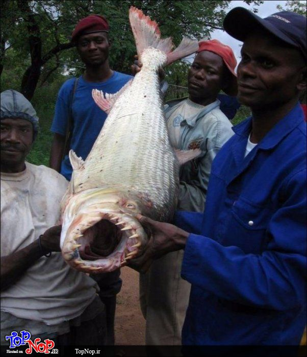 ماهی وحشی با دندان های عجیب +تصویر
