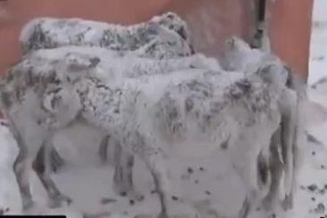 الاغ هایی که ایستاده یخ زدند