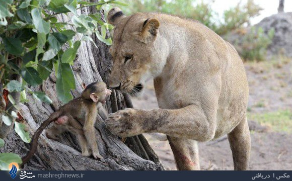 نجات جان بچه بابون توسط شیر +تصاویر