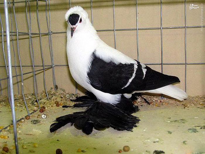 عجیب ترین کبوترهای دنیا