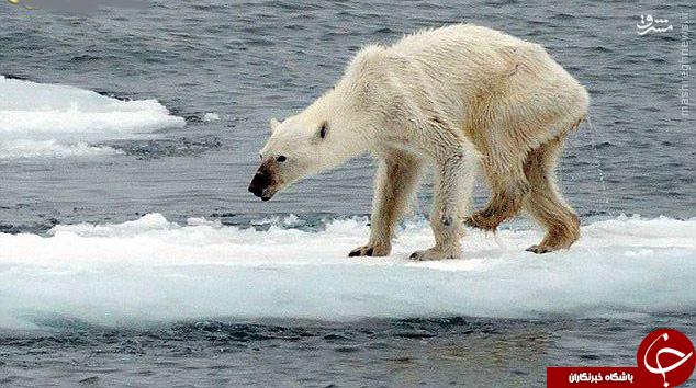 تصویری تکان دهنده از یک خرس قطبی