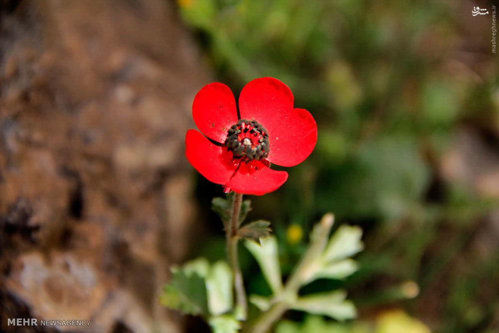 رومشگان فیلم عکس/ گلهای زیبای بهاری طبیعت رومشگان