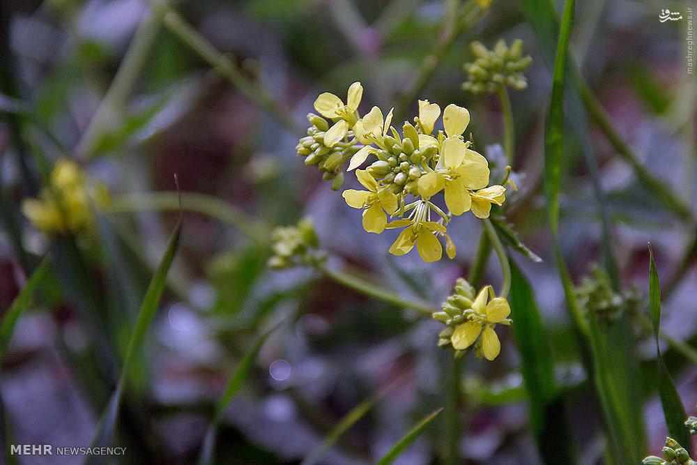 رومشگان فیلم گلهای زیبای بهاری طبیعت رومشگان/تصاویر
