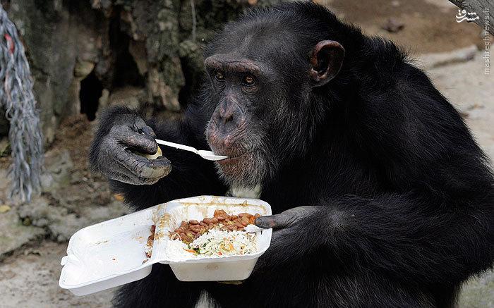 عکس/ میمون متمدن