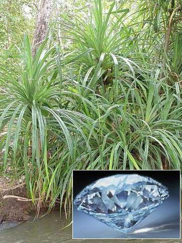 این گیاه عاشق الماس است +عکس