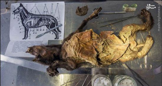 کشف سگ ۱۲ هزار ساله در سیبری