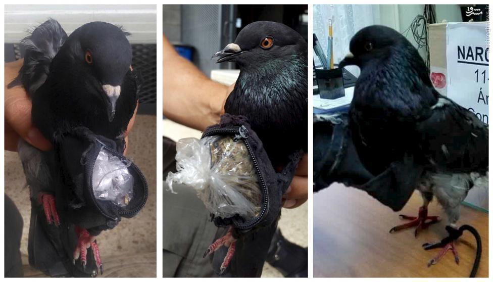 کبوتر قاچاقچی دستگیر شدیک کبوتر که درحال جا به جایی 14 گرم کوکائین بود در کاستاریکا دستگیر شد. این کبوتر در حال انتقال مواد به زندان کاستاریکا بوده است.