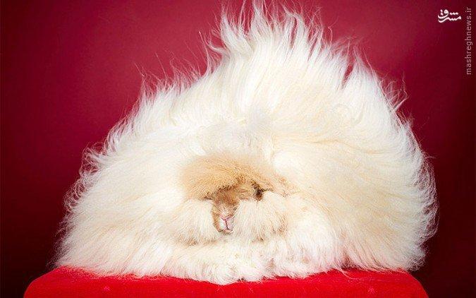 پشمالوترین خرگوش در دنیا