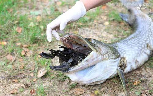 عکس/ خفه شدن یک ماهی بر اثر خوردن یک اردک