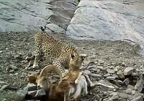 پلنگ ايرانی در حال خوردن شکار +عکس