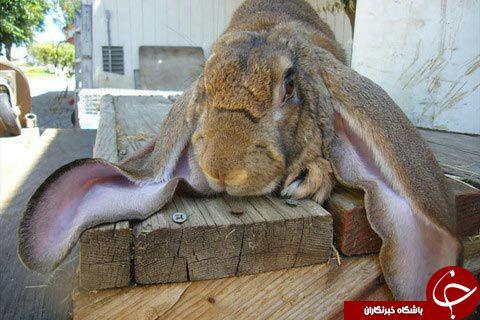 درازگوش ترین خرگوش دنیا + عکس