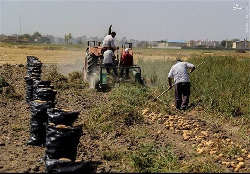 امحای سیبزمینی نتیجه سهلانگاری مسئولان یا دوئل انتخاباتی؟