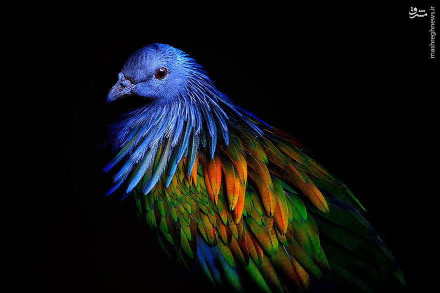 کبوتر نیکوبار