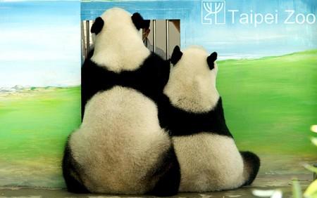 معاینه پزشکی پانداهای باغ وحش زیوان _ هنگ کنگ