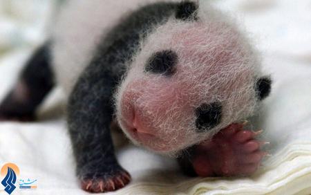 پاندای تازه متولد شده در باغ وحش انکوباتور _ تایوان