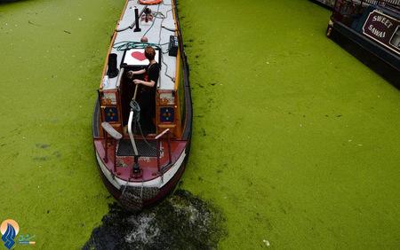 رویش جلبک روی سطح رودخانه پدینگتون لندن به دلیل افزایش شدید دما