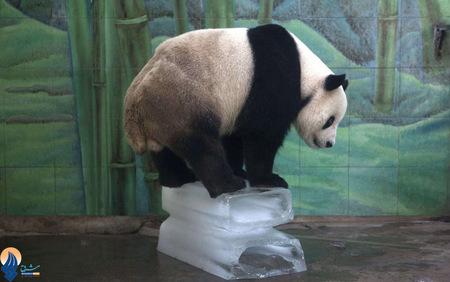 خنک کردن پاندا به دلیل گرمای شدید در باغ وحش ووهان _ چین