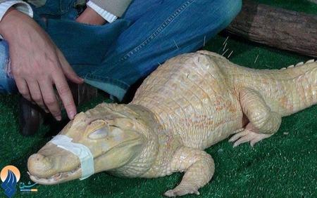 درمان یک تمساح فلج با طب سوزنی در برزیل