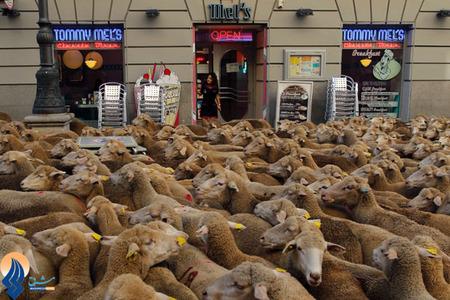تررد گوسفندان در یکی از خیابانهای مادرید _ اسپانیا