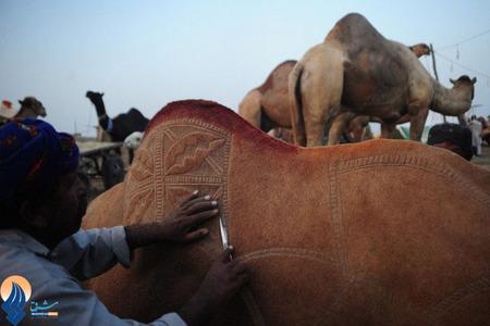 تزئین شترها برای آماده کردن آنها برای عید قربان _ پاکستان