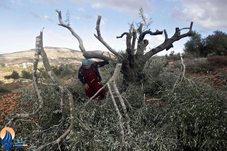 قطع شبانه 60درخت زیتون یک باغدار فلسطینی به دست نظامیان اشغاگر قدس در نابلس