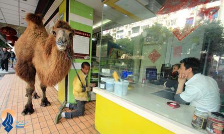 گدایی یک مرد چینی همراه با یک شتر در شهر شواژینگ _ چین