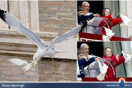 حمله مرغ دریایی و کلاغ به کبوترانی که توسط پاپ رها شده بودند