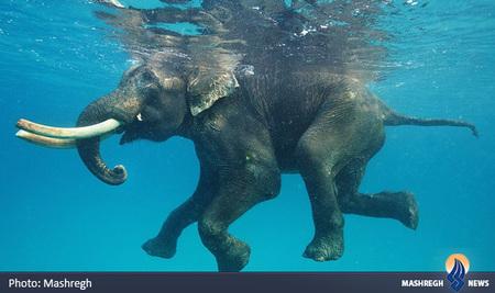 شنای فیل در یکی از جزایر آندامان، در اقیانوس هند