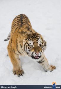 ببر سیبری در پارک حیوانات مجارستان