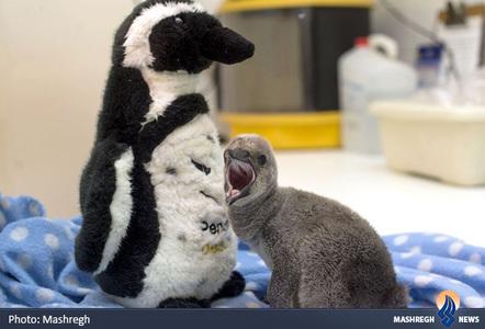 جوجه پنگوئن در باغ وحش لندن