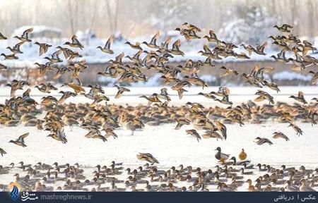 مرغابی سانان مهاجر زمستانگذران در تالاب های شهرستان سرخرود