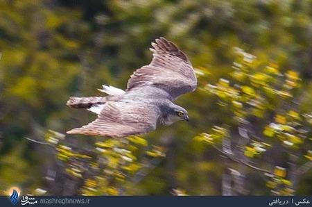 تصویربرداری از پرنده شکاری کمیاب به نام طرلان حین پرواز در مناطق جنگلی مازندران