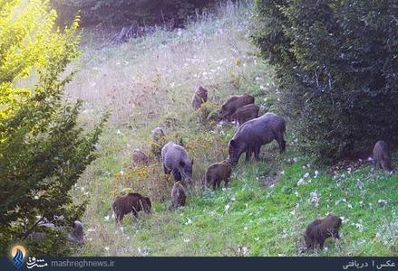 تصویر زیبا از رفتار طبیعی یک خانواده گراز (خوک وحشی) در منطقه چهاردانگه شهرستان ساری