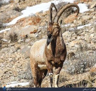 تصویر کل وحشی در منطقه حفاظت شده پرور در استان سمنان