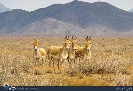 یکی از معروفترین عکس های حامد تیزرویان عکس فوق است که از ۴ گورخر ایرانی در پارک ملی توران درحالی تهیه شده است که همگی مستقیما به دوربین نگاه می کنند. این عکس زیبا در مجله نشنال جئوگرافیک نیز به چاپ رسیده است.