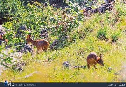 تصویر دو شوکا در منطقه چهاردانگه شهرستان ساری</p><br /><br /> <p>شوکا (گوزن مینیاتوری) کوچکترین گونه گوزن در کشور به شمار می رود که حدود ۱۵ کیلوگرم وزن دارد.