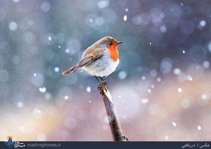 سینه سرخ در زیر بارش برف / اطراف ساری