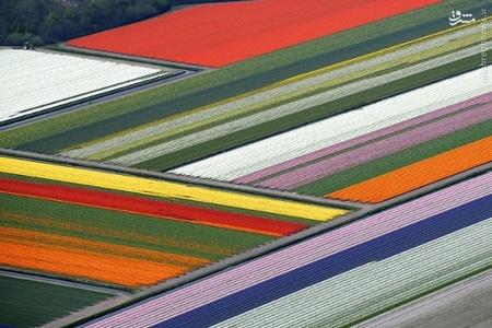 باغ شکوفه های لاله در هلند